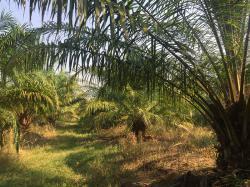 ขายสวนปาล์ม พร้อมที่ดิน 27 ไร่ ไร่ละ 8 แสนบาท จังหวัดสุโขทัย
