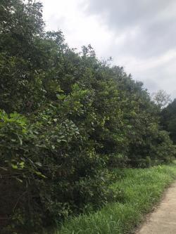 ขาย ที่ดินพร้อมสวนเงาะ ห่างจากตลาดหรือถนนสุขุมวิท 4 โล อำเภอขลุง จังหวัดจันทบุรี