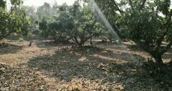 ขายที่ดินสวนลำใยราคาถูก อำเภอภูกามยาว จังหวัดพะเยา